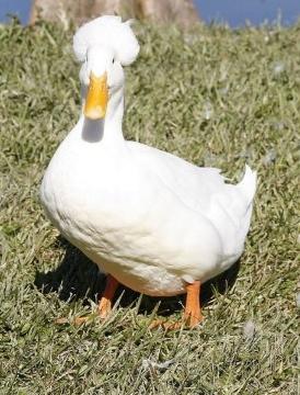 1_bali_duck.jpg (81.4 KB)