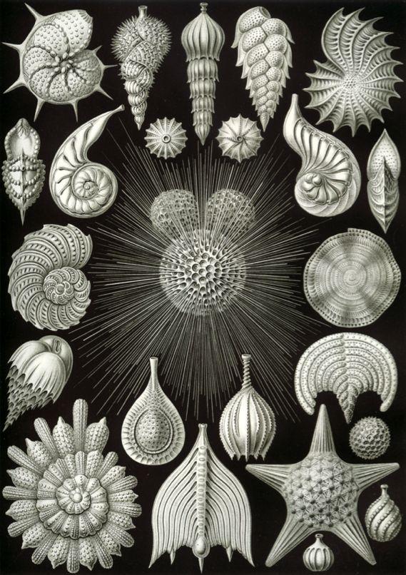 ErnstHaeckel-ArtOf-Foraminifera.jpg (121.0 KB)