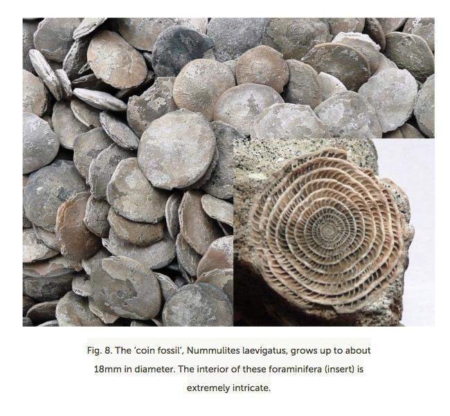 Foraminifera-Sussex.jpg (195.5 KB)