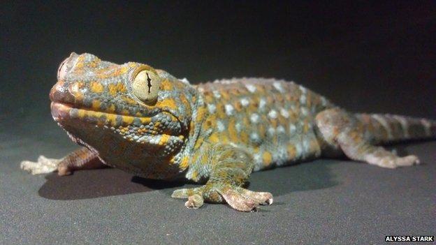 gecko.jpg (40.7 KB)