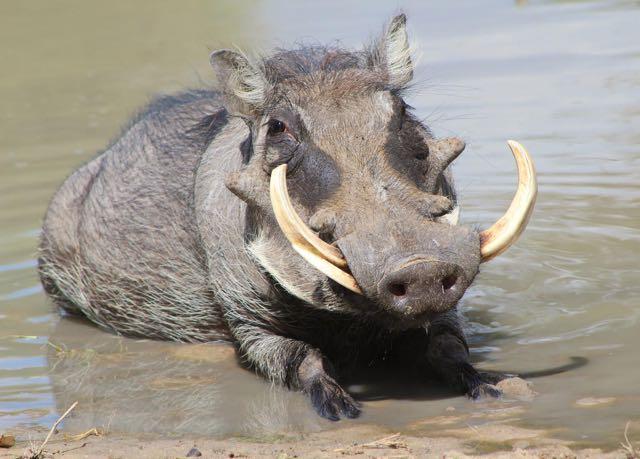 warthog.jpg (48.7 KB)